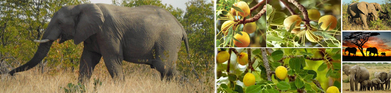 Ba-Phalaborwa - The Home of Marula and the Wildlife Tourism